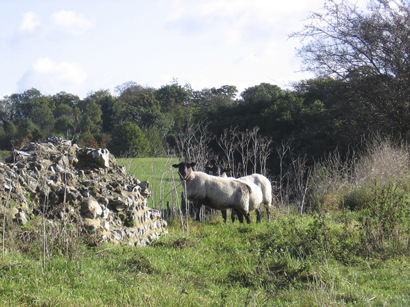 sheep on venta icenorums wall