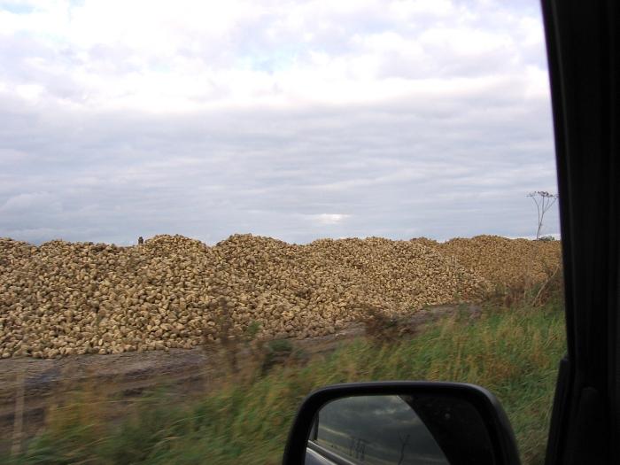 Image 020 piles of sugar beet